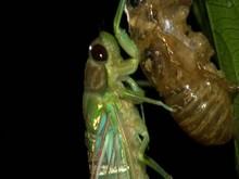 Adult Cicada Emerging From Lar...