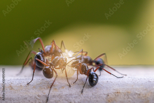Photo Selective focus black ants eating sugar on ground