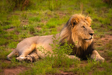 Big Male Lion Lying On The Grass, Pilanesberg National Park, South Africa.