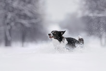 Border Collie Dog Running In The Snow Outdoors