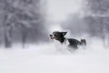 Border Collie Dog Running In T...