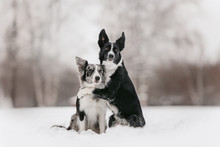Two Border Collie Dogs Hugging...
