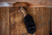 A Dead Mouse In A Black Plastic Mousetrap On A Wooden Floor Near A Hole In A Wooden Wall, Top View