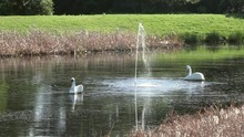 Two Decorative Swans In The Mi...