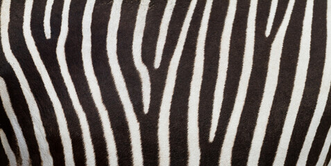 FototapetaPattern of zebra skin useful for panoramic background