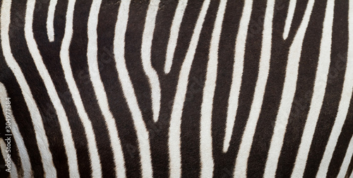 Pattern of zebra skin useful for panoramic background - 304977584