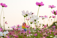 Cosmos Flower And White Sky In Twilight,pink And Whtie Cosmos. Cosmos Bipinnatus.