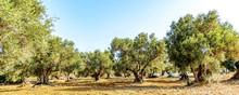 Olivenbaumhain, Olivenbäume (.