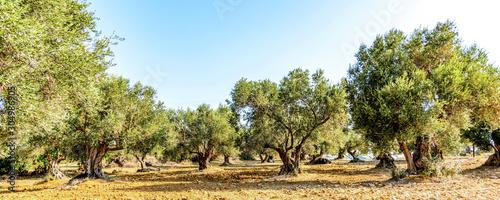 Fotomural Olivenbaumhain, Olivenbäume (Olea europaea)