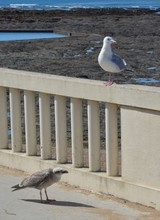 Herring Gull, Young And Adult (Goelands Argentés, Jeune Et Adulte)