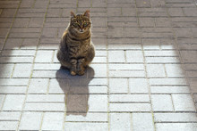 Gray, Striped Stray Cat Or Str...