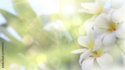Tuinposter Frangipani Beautiful blossoming White yellow Frangipani or plumeria flower with color filter In spring Under the morning light with copy space,Use as background and wallpapers,Dream Frangipani flower concept