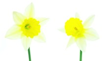 Two White And Yellow Daffodil ...