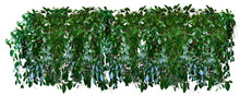 Panorama Of Thickets Of Tropical Ivy, Vines, Hoya Isolated On A White Background.