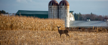Ten Point White Tailed Deer Buck Standing In A Farmers Cornfield In November Panoramic