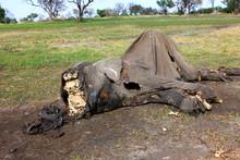 A Dead Elephant That Has Had I...