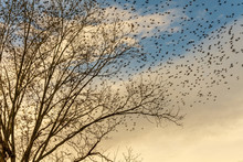 Blackbirds Roost On A Pecan Tree In Autumn Then Take Wing.