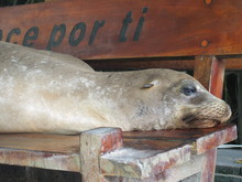 A Sea Lion Sleeping On A Bench, Isabela Island (Isla Isabela) Is One Of The Galápagos Islands, Ecuador