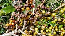 Coffee Beans On A Tree, Panama