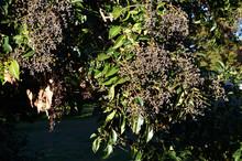 秋に多数の黒い実を付...