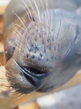 Sea Lion Lies On A Bench, Sant...