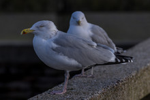 Seagulls On A Ledge