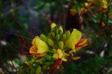 The Caesalpinia Pulcherrima Flower