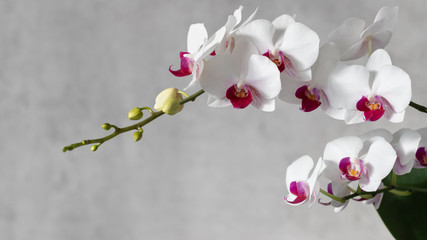Fototapeta na wymiar A flowering multi-flowered white orchid with deep purple red lip of the genus Phalaenopsis. Flowers and buds. On a grey blurred background with copy space
