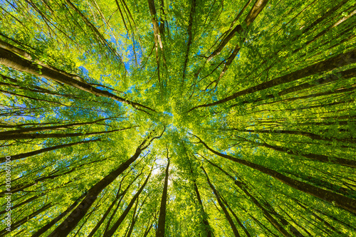 Looking up at the green tops of trees. - fototapety na wymiar