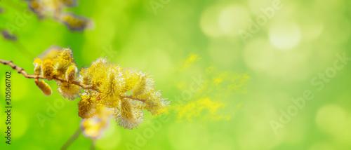 Foto blütenstaub von weidenkätzchen