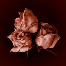 Three Ripped Rose Buds On A Da...