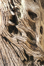 Wood Texture Of Olive Tree Close Up - Beautiful Twisted Trunk With Knots And Holes