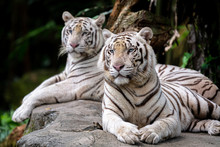 White Tiger At Singapore Zoo