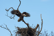 An American Bald Eagle Lands Above Its Nest.