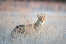 Urban Coyote Portrait