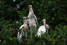Young Wood Storks - Mycteria A...