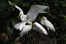 Great Egret - Ardea Alba - Fee...
