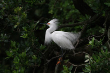 Snowy Egret - Egretta Thula - In Breeding Plumage And Coloration Against Dark Background In Saint Augustine, Florida.