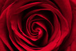 Red rose macro background. Close-up