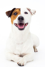 Dog Jack Russell Terrier Looks Up On A White Background