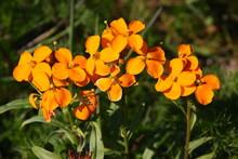 Blooming Siberian Wallflower (...