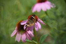 Buckeye Butterfly On Coneflower