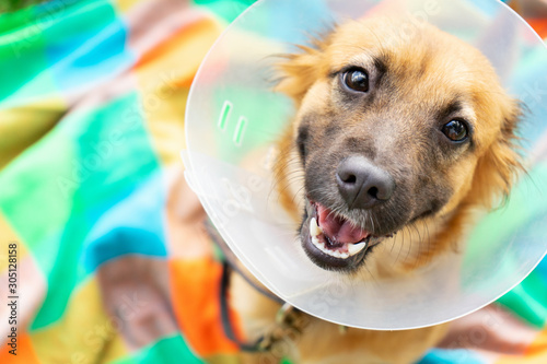 Leinwand Poster Young dog with veterinary collar also called elizabethan after surgery