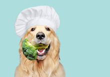 Golden Retriever Cook With Broccoli In Mouth