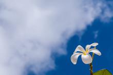 White Jasmine Flower Against B...