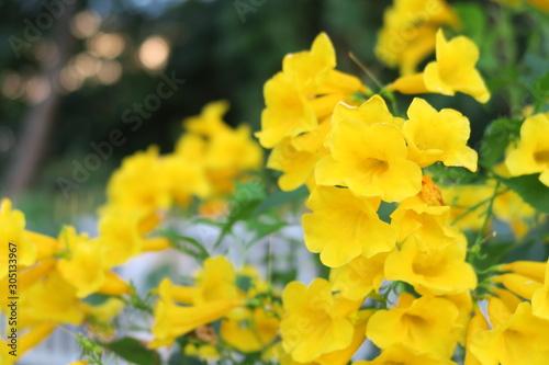Tecoma stans , Yellow bell, Yellow elder flowers Tapéta, Fotótapéta