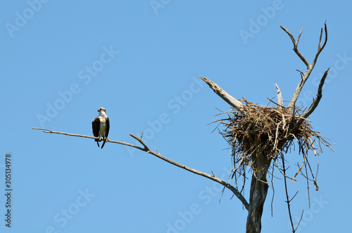 osprey perched next to nest Canvas Print