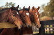 Thoroughbred Yearlings