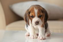 Cute Beagle Puppy At Home