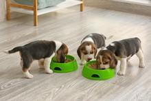 Cute Beagle Puppies Eating Foo...